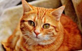 Рыжий кот с белой мордой