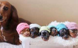 Роды собаки на дому