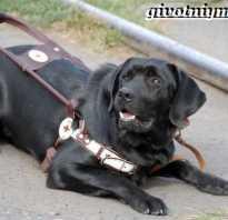 Лучшая порода собак поводырей