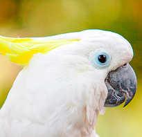 Как называется белый попугай