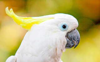 Белые попугаи с хохолком