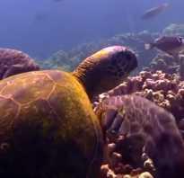 С какой скоростью плавают черепахи