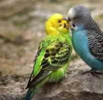 Как вылупляются попугаи