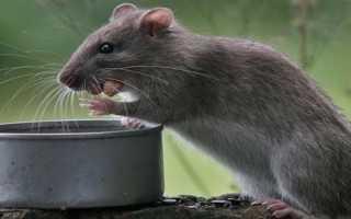 Помет крысы фото