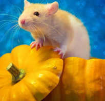 Похожа на крысу но не крыса