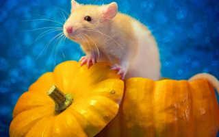 Крыса завоевавшая мир