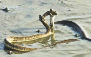Морская рыба змея