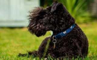 Собака с усами и бородой порода