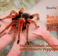 Чем питается паук птицеед