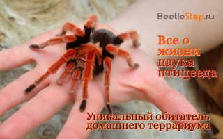 Чем кормить паука птицееда