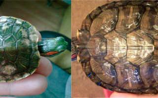 Почему у красноухой черепахи облазит панцирь