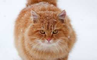 Светло рыжая кошка