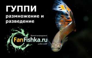 Рыбы гуппи размножение
