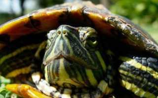 Почему у черепахи панцирь становится белым
