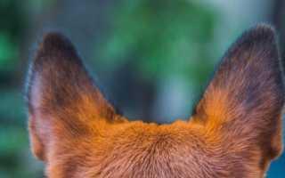 Название породы собак с длинными ушами