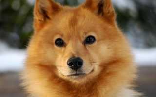 Финская порода собак