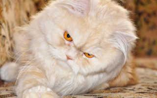 Сколько живут персидские кошки