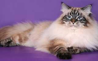 Персидско сибирские котята