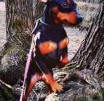 Кожные заболевания у собак на морде