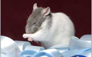 Как быстро размножаются крысы