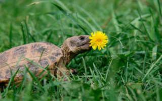 Почему не ест черепаха сухопутная