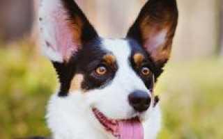 Корги кардиган порода собак