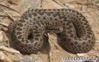 Ядовитая змея гюрза