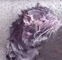 Как моются крысы в природе